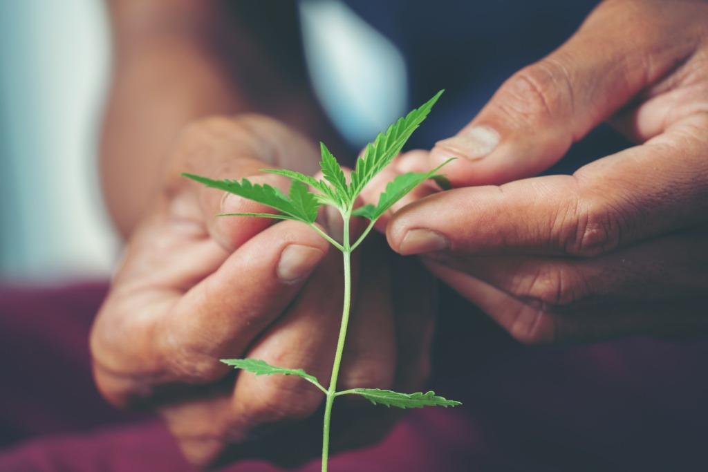 Hand holding marijuana leaf ( Cannabis sativa indica )