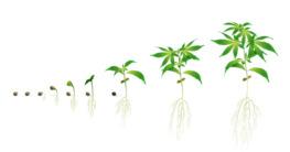 Growbox Cannabis Pflanzen vorziehen