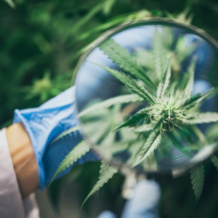 Growing cannabis indoors, hemp cultivation technique. Growing pot in groutent